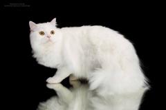 Caesar Ostrov Cat